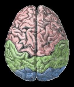 300px-cerebral_lobes
