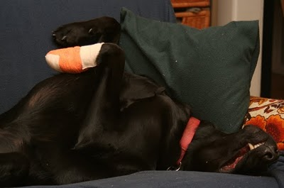 Dog Injured Paw