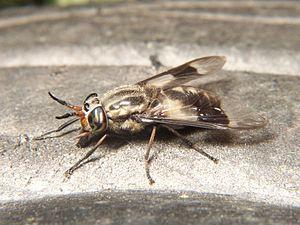Dealing With Deer Flies on the Run: A Bit of Yankee Ingenuity