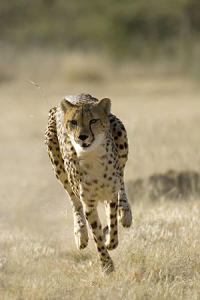 Can a Human Outrun a Cheetah?